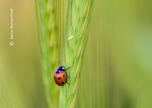 A Scarlet Ladybug, by Bawar Mohammad