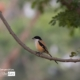 The Shrike, by Masudur Rahman