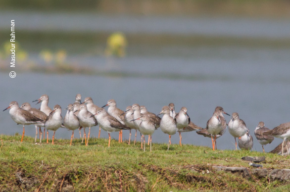 Flocks of Common Redshank, by Masudur Rahman