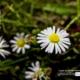 Daisy, Daisy, by Tisha Clinkenbeard