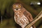 Brown Hawk Owl, by Saniar Rahman Rahul