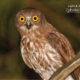 Brown Hawk Owl, by Saniar Rahman Rahul