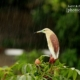 Indian Pond Heron, by Saniar Rahman Rahul