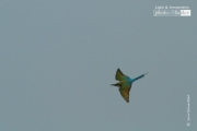 Blue Tailed Bee-Eater, by Saniar Rahman Rahul