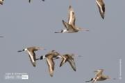 Black tailed Godwit, by Saniar Rahman Rahul