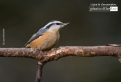 Red Breasted Nuthatch, by Claudio Bacinello