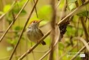 Female Dark Necked Tailorbird, by Saniar Rahman Rahul
