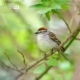 Chipping Sparrow, by Claudio Bacinello
