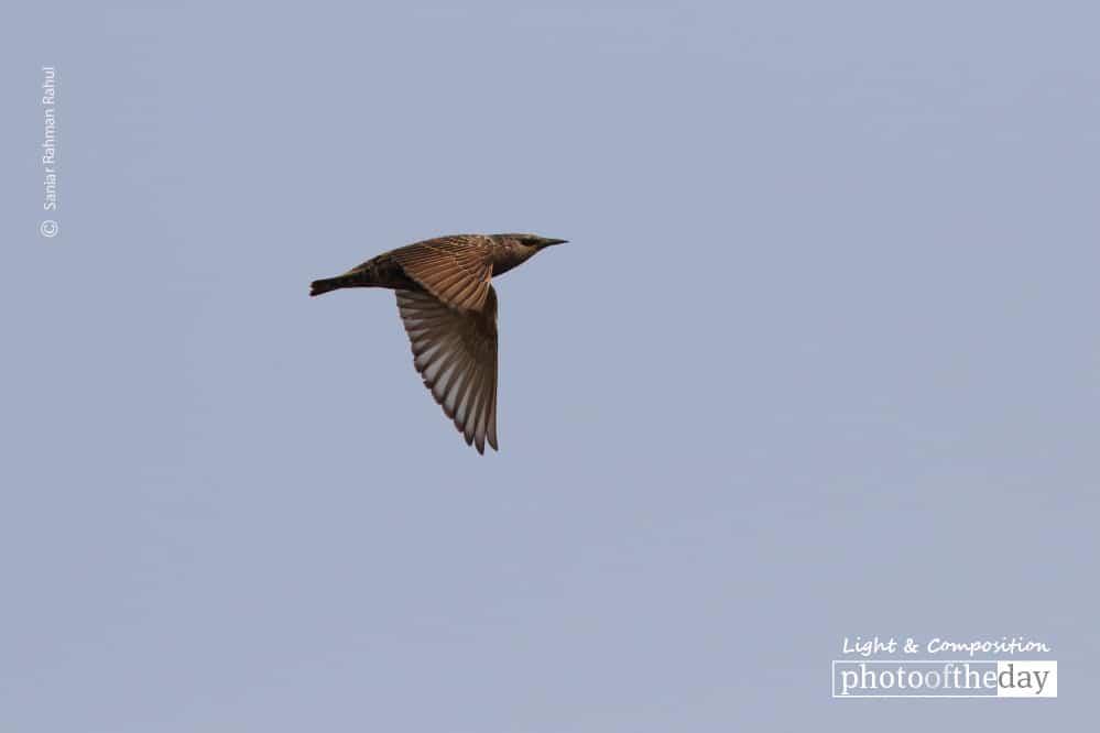 Common Starling, by Saniar Rahman Rahul