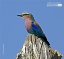 Lilac Breasted Roller, by Claudio Bacinello
