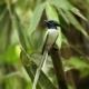 Asian Paradise-Flycatcher, by Saniar Rahman Rahul