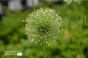 Full Bloom, by Des Brownlie