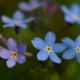 Forget-me-nots, by Ola Cedell