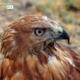 Hawk of Hevsel, by Mehmet Masum
