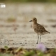The Migratory Pacific Golden Plover, by Saniar Rahman Rahul