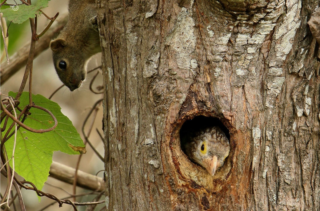 The Linieted Barbet and A Squirrel, by Saniar Rahman Rahul