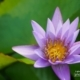 Lily in Purple, by Siew Bee Lim
