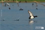 The Tufted Duck, by Saniar Rahman Rahul