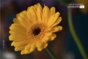 Colorful Gerbera, by Ola Cedell