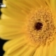 Gerbera Close-up, by Ola Cedell