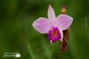 Bamboo Orchid, by Siew Bee Lim