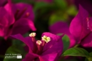 Bougainvillea, by Siew Bee Lim