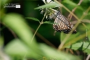 A Neighborhood Butterfly, by Siew Bee Lim