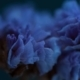 Everlasting Purple-blue Statice, by Ola Cedell