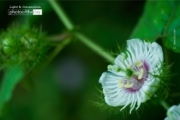 Stinking Passionflower, by Siew Bee Lim