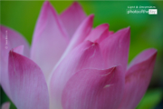 A Lotus Flower, by Siew Bee Lim