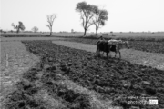 Ploughing, by Jabbar Jamil