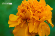Marigold by Siew Bee Lim