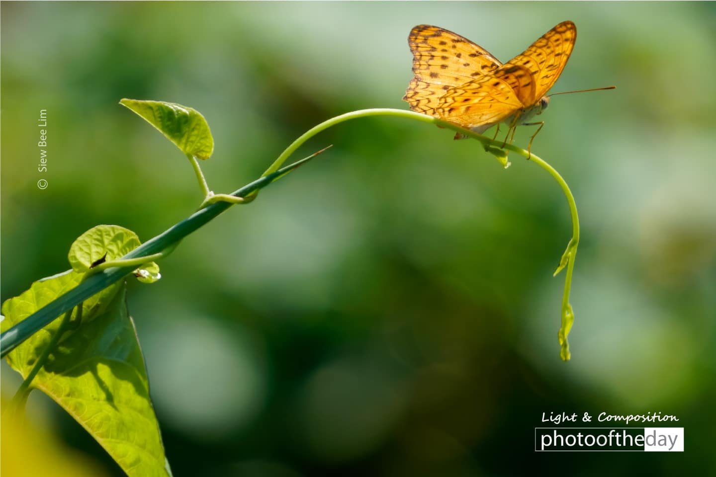 Common Leopard by Siew Bee Lim