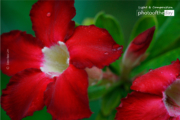 Impala Lily by Siew Bee Lim