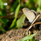 Lesser Grass Blue by Siew Bee Lim