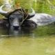 Water Buffalo by Ryszard Wierzbicki