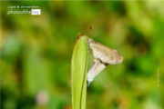 Two Lesser Grass Blue by Siew Bee Lim