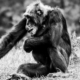 Chimpanzees Our Closest Relatives by Kirsten Bruening