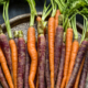 Multicoloured Carrots by May Lawrence