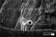 Grey Langur by Ravikumar Jambunathan